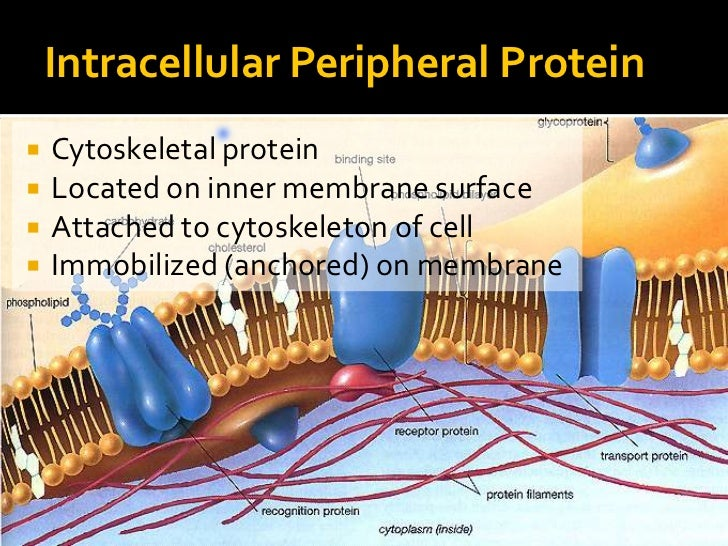 what is an example of a phospholipid bilayer
