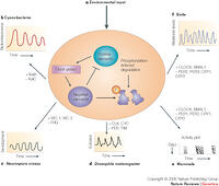 what is an example of circadian rhythm in plants