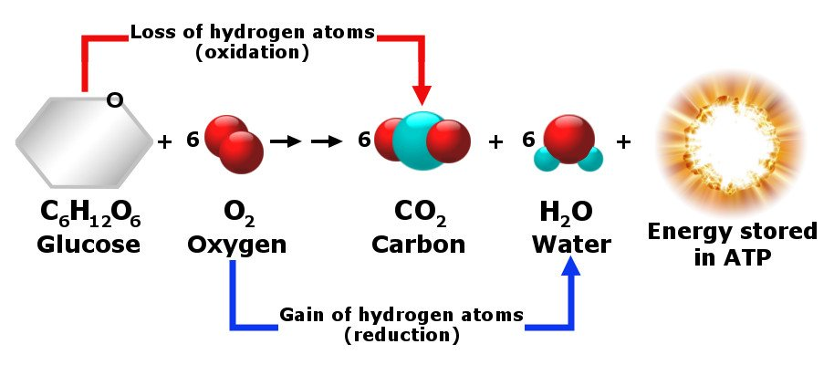 cellular respiration is an example of what reaction