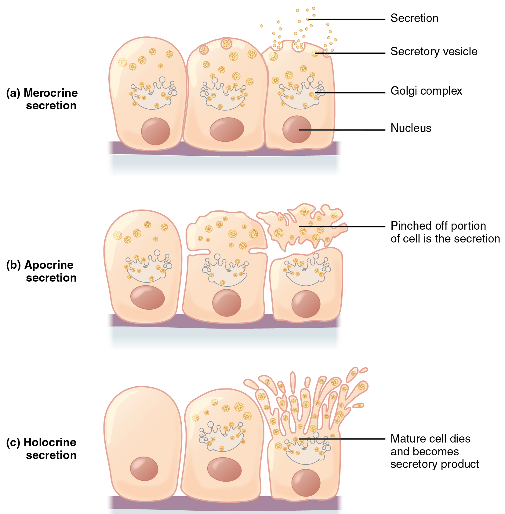 example of exocytosis in the body