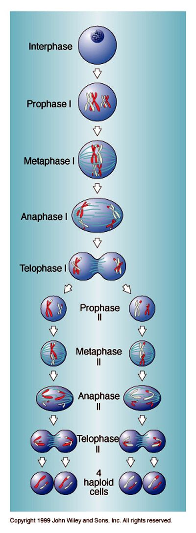 what is an example of meiosis